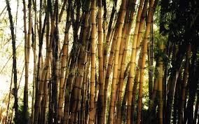 bamboo wallpaper background 26001