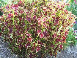 How To Grow Coleus Plants by Coleus Plants Simply Cannot Be Beat For A Splash Of Color All Summer