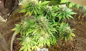 space buckets start growing marijuana for 100 grow weed easy