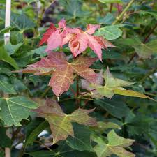 acer crimson king norway maple mail order trees