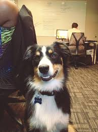 australian shepherd teeth survey reveals how people feel about dogs in the workplace and