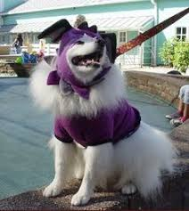 american eskimo dog growling is it too early to think about your halloween costume american