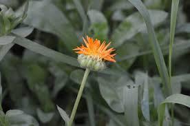 calendula flowers 5 ways to preserve and use calendula flowers joybilee farm diy
