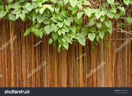 nature backgroundleaves framevines cissus sicyoides backgroundthe
