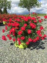 drift roses drift 3g rosa meigalpio latham s nursery