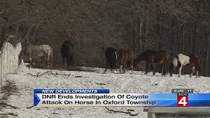 michigan dnr does not believe coyotes took down horse in