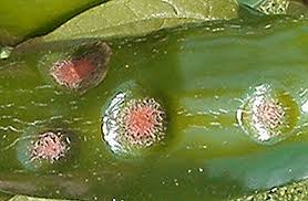 Green Chilli Plant Diseases - chilli plant diseases world of chillies