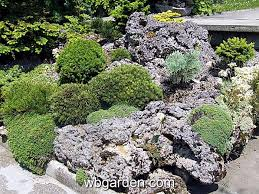 dwarf conifers for tiny rock garden
