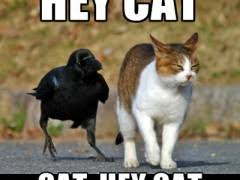 Crow Meme - crow bothering cat weknowmemes