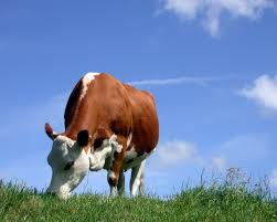 photo collection cow desktop wallpaper free