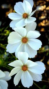 White Flowers Pictures - best 25 cosmos flowers ideas on pinterest cosmos flower