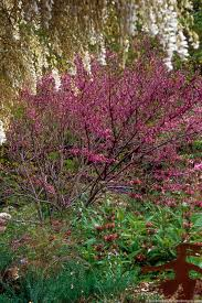 native plants california california native redbud tree summer dry celebrate plants in