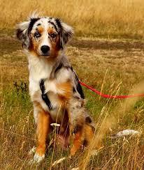 australian shepherd 2015 westminster meet the newest dog breeds of westminster mnn mother nature