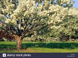 mn landscape arboretum flowering crabapple tree at the minnesota landscape arboretum in