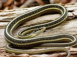 black and yellow ribbon species profile eastern ribbon snake thamnophis sauritus srel