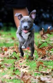 american pitbull terrier gray american pit bull terrier dog breed information pictures