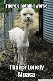 Alpaca Meme - alpaca