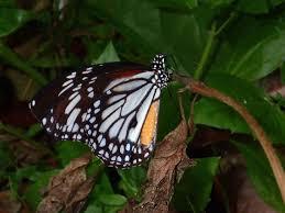 white tiger butterfly danaus melanippus edmondii by albert kang