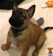 belgian malinois for sale belgian malinois puppies for sale