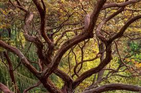 where to buy california native plants manzanita summer dry celebrate plants in summer dry gardens