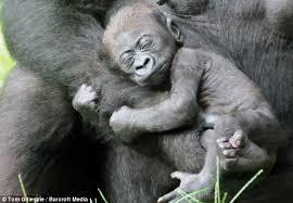 Baby Monkey Meme - sleepy baby gorilla takes a break from his monkey business on