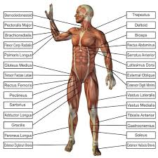 part of the body with muscle all parts of the muscular system this
