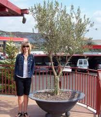 cold weather olive tree 1 olive trees are gorgeous and 2 on