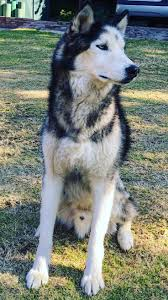Husky 2 Ton Jack by 24 Best Husky Images On Pinterest Siberian Huskies Huskies