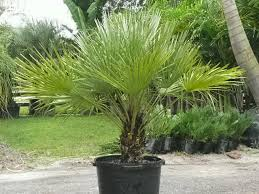 mexican fan palm growth rate container material