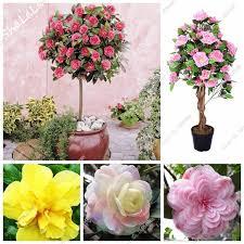 new real mini camellia tree seeds camellia japonica bonsai