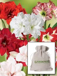 amaryllis bulbs in organza gift bags 6 varieties gardeners