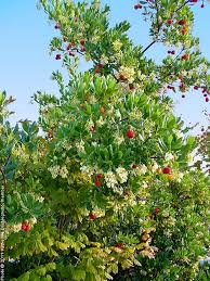 strawberry tree tree on the tree guide at arborday org