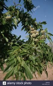 ornamental almond sweet almond prunus dulcis branch with