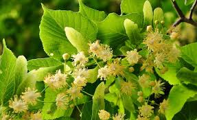 a family herb gentle linden flower and leaf herbal academy