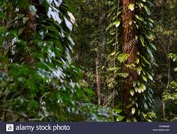 tropical rainforest native plants lush rainforest vegetation with epiphytes in daintree national