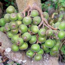 Fig Flower - ficus racemosa seeds cluster fig tree indian fig tree goolar