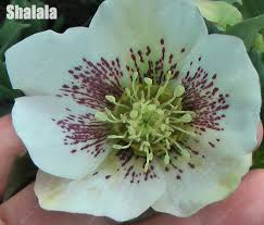 aliexpress buy 20 pcs unique japanese helleborus flower