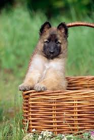 belgian shepherd breeds best 25 belgian dog ideas on pinterest german malinois