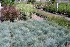 ornamental grass for northern ky showplace garden center