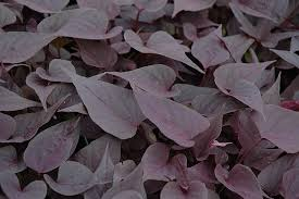 sweetheart purple sweet potato vine ipomoea batatas sweetheart