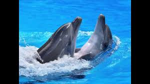 bottlenose dolphin facts for kids bottlenose dolphin fun facts