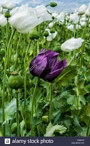 opium opium poppy field papaver somniferum turkey stock photo royalty
