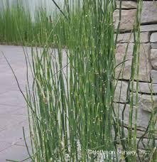 native japanese plants native plant equisetum hyemale horsetail scouring rush
