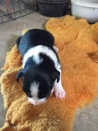 australian shepherd puppies 3 weeks litter of 6 border collie miniature australian shepherd mix