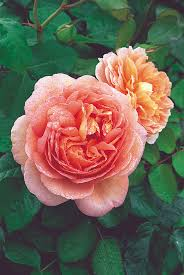 64 best david austin roses images on pinterest david austin