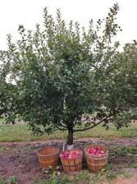 semi is the next larger size in fruit trees these trees