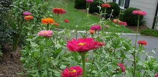 zinnia flower how to grow zinnias in your garden today s homeowner