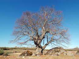 file majestic tree 3306944049 jpg wikimedia commons