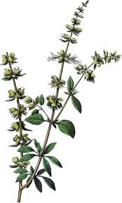herb vintage basil herb image the graphics fairy