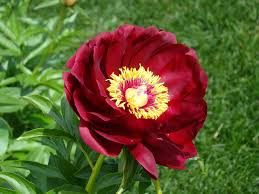 Peony Flower Peony Flower Free Stock Photo Public Domain Pictures